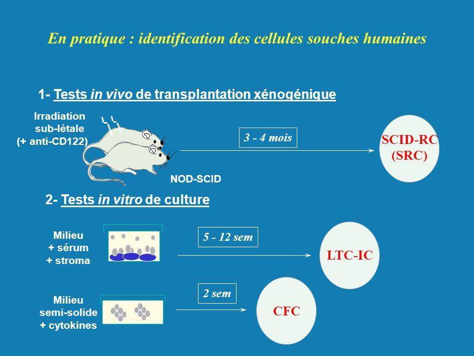 1- Tests in vivo de transplantation xénogénique SCID-RC (SRC) 3 - 4 mois NOD-SCID Irradiation sub-létale (+ anti-CD122) 5 - 12 sem 2 sem En pratique :