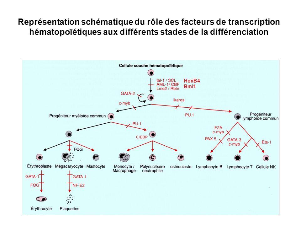 Représentation schématique du rôle des facteurs de transcription hématopoïétiques aux différents stades de la différenciation HoxB4 Bmi1 C/EBP