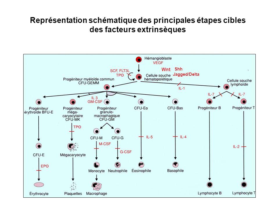 Représentation schématique des principales étapes cibles des facteurs extrinsèques Shh Wnt Jagged/Delta