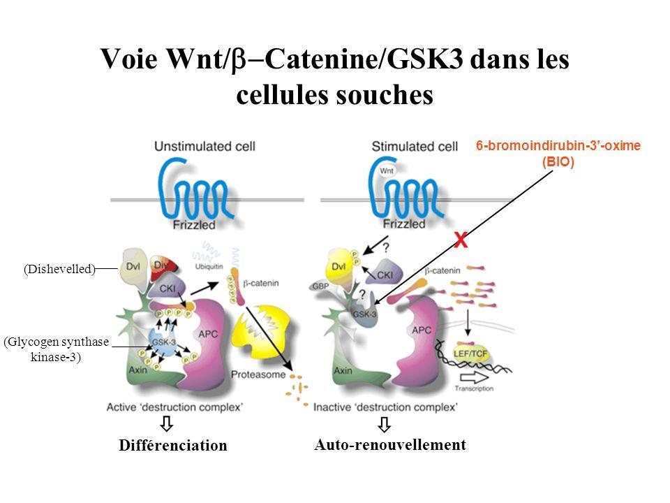 Voie Wnt/ Catenine/GSK3 dans les cellules souches (Dishevelled) (Glycogen synthase kinase-3) 6-bromoindirubin-3-oxime (BIO) X Différenciation Auto-ren