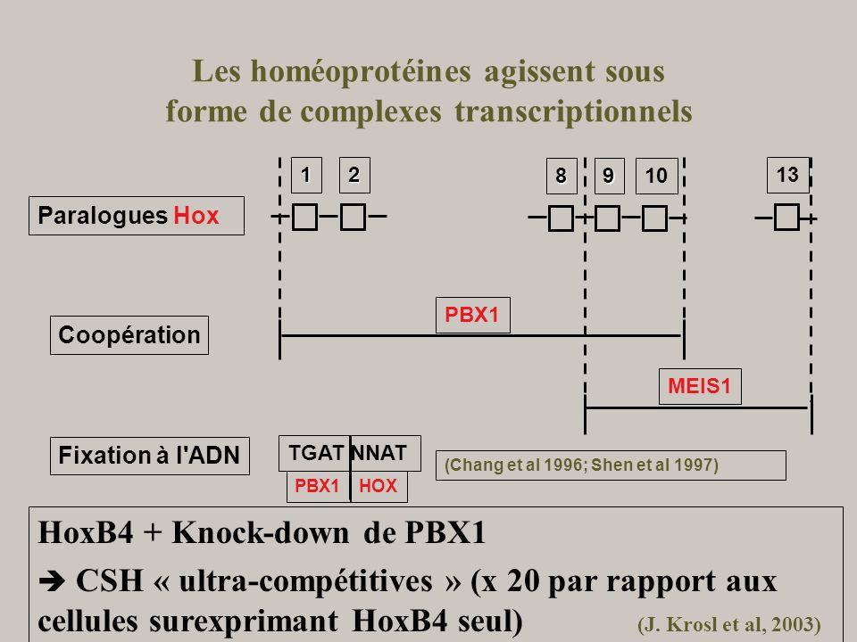 Les homéoprotéines agissent sous forme de complexes transcriptionnels 13 1098 12 MEIS1 PBX1 Coopération Paralogues Hox HOXPBX1 TGAT NNAT Fixation à l'
