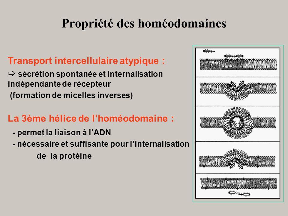 Propriété des homéodomaines Transport intercellulaire atypique : sécrétion spontanée et internalisation indépendante de récepteur (formation de micell