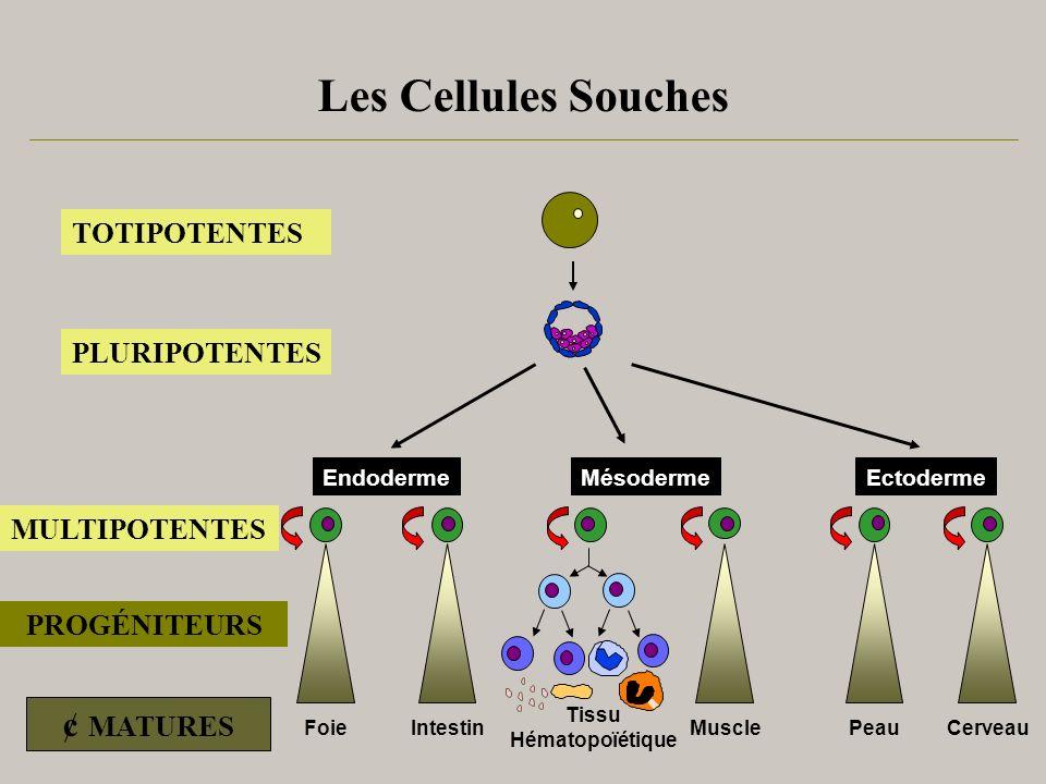 Les Cellules Souches IntestinPeau Cerveau Tissu Hématopoïétique Muscle EctodermeMésodermeEndoderme Foie TOTIPOTENTES PLURIPOTENTES MULTIPOTENTES PROGÉ