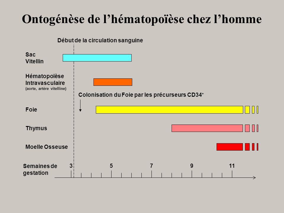 Semaines de gestation Début de la circulation sanguine Colonisation du Foie par les précurseurs CD34 + 351179 Sac Vitellin Hématopoïèse Intravasculair