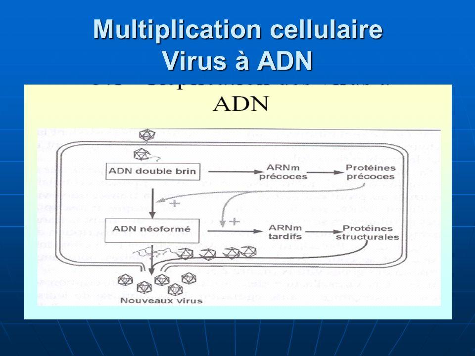 Multiplication cellulaire Virus à ADN