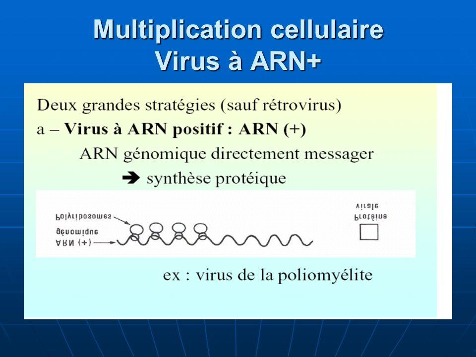 Multiplication cellulaire Virus à ARN+