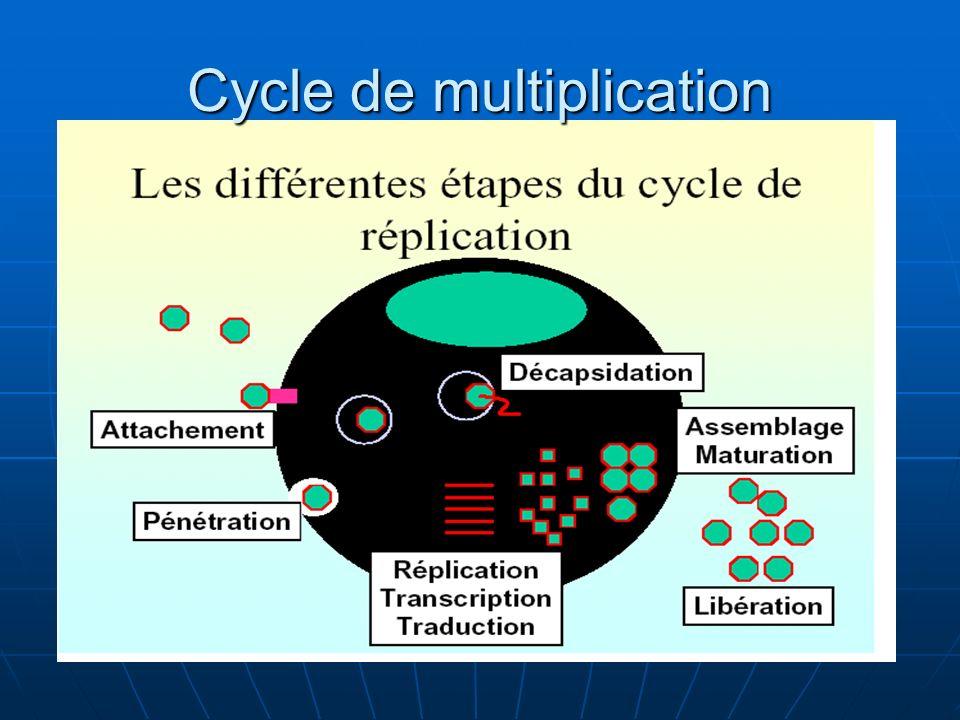 Cycle de multiplication