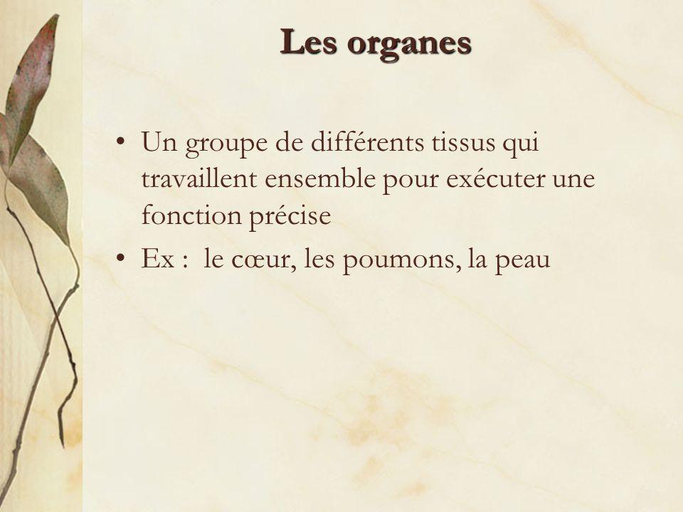 Les organes Un groupe de différents tissus qui travaillent ensemble pour exécuter une fonction précise Ex : le cœur, les poumons, la peau