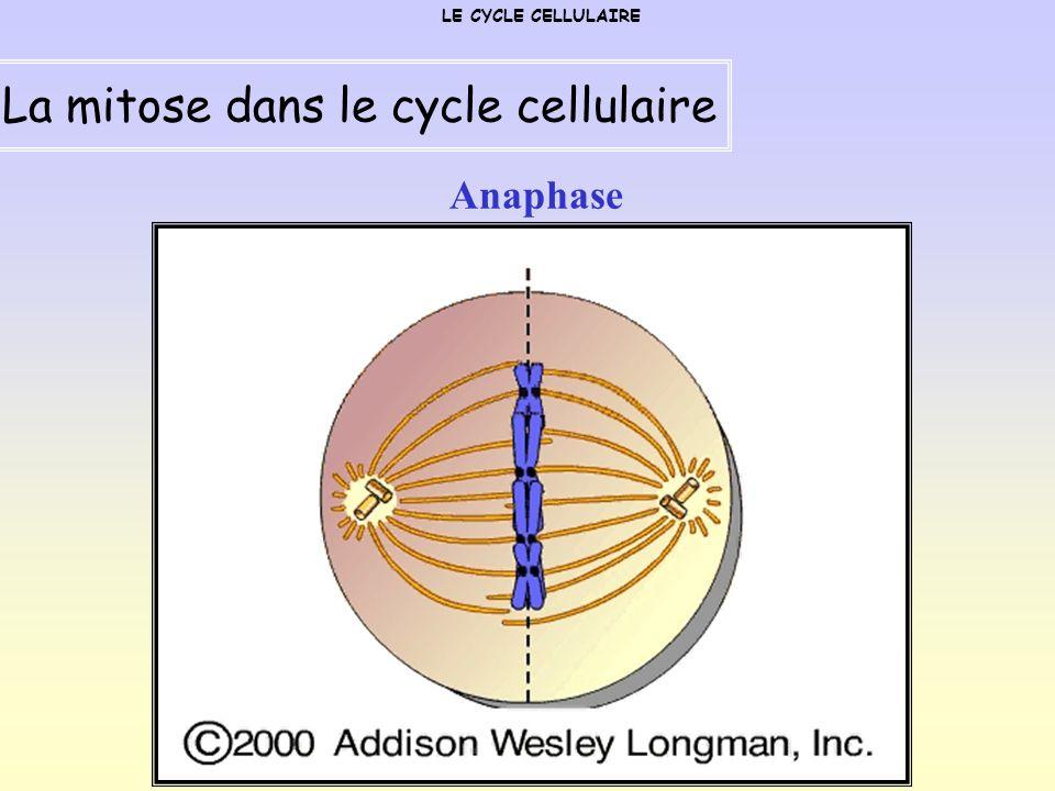 Anaphase LE CYCLE CELLULAIRE La mitose dans le cycle cellulaire