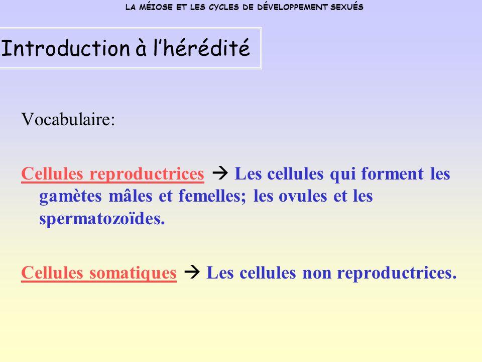Vocabulaire: Cellules reproductrices Les cellules qui forment les gamètes mâles et femelles; les ovules et les spermatozoïdes.