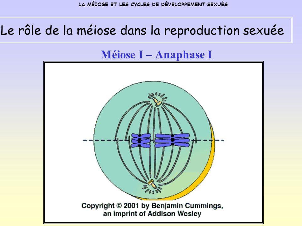 Méiose I – Anaphase I LA MÉIOSE ET LES CYCLES DE DÉVELOPPEMENT SEXUÉS Le rôle de la méiose dans la reproduction sexuée