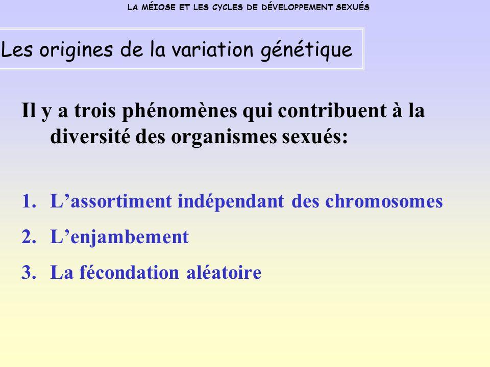 Il y a trois phénomènes qui contribuent à la diversité des organismes sexués: 1.Lassortiment indépendant des chromosomes 2.Lenjambement 3.La fécondation aléatoire LA MÉIOSE ET LES CYCLES DE DÉVELOPPEMENT SEXUÉS Les origines de la variation génétique