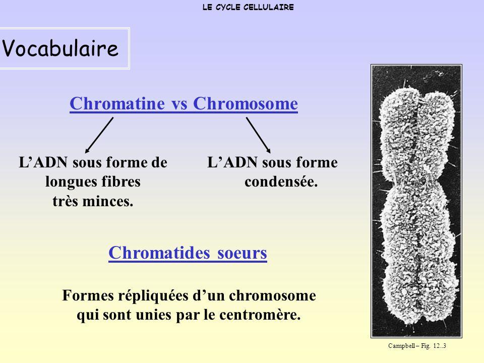 Chromatides soeurs LE CYCLE CELLULAIRE Vocabulaire Campbell – Fig. 12..3 Centromère