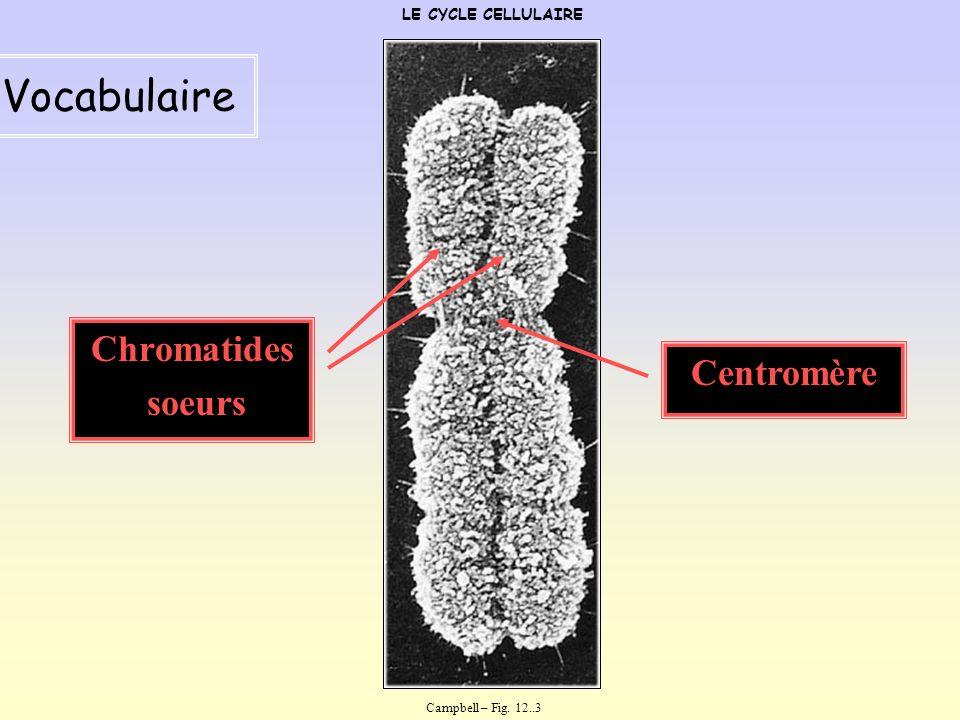 Le cycle cellulaire LE CYCLE CELLULAIRE La mitose dans le cycle cellulaire Campbell – Fig. 12.4