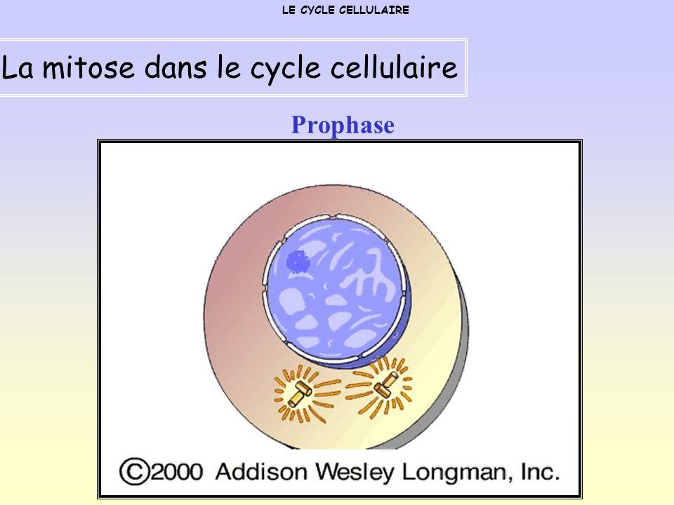 Prophase LE CYCLE CELLULAIRE La mitose dans le cycle cellulaire