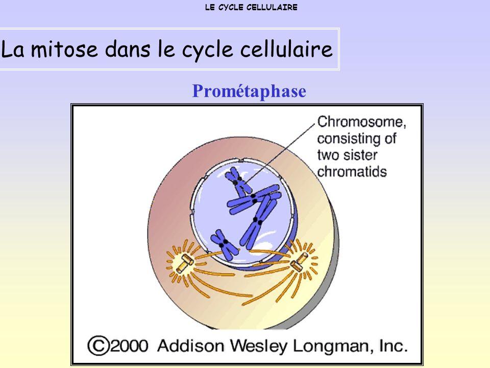 Métaphase LE CYCLE CELLULAIRE La mitose dans le cycle cellulaire