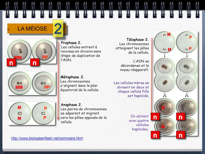 Télophase 2. Les chromosomes atteignent les pôles de la cellule. LADN se décondense et le noyau réapparaît. Les cellules mères se divisent en deux et