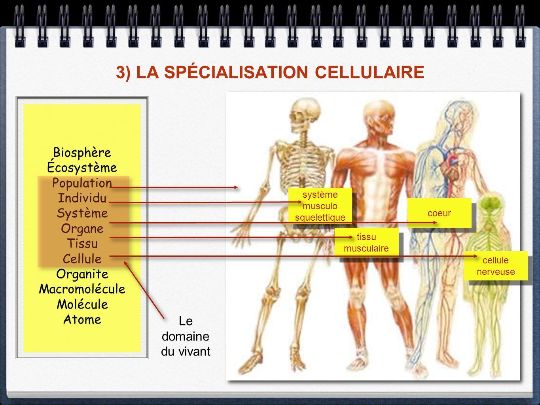 3) LA SPÉCIALISATION CELLULAIRE Biosphère Écosystème Population Individu Système Organe Tissu Cellule Organite Macromolécule Molécule Atome Le domaine du vivant système musculo squelettique système musculo squelettique coeur tissu musculaire cellule nerveuse