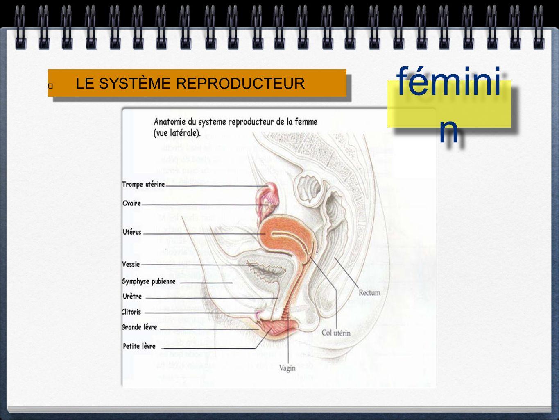 LE SYSTÈME REPRODUCTEUR fémini n