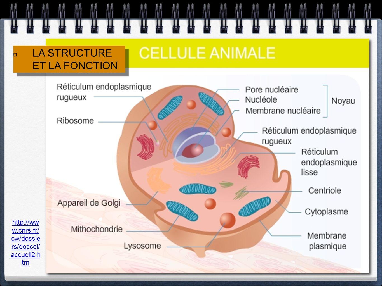 la membrane cellulaire le cytoplasme le noyau les mitochondries lappareil de Golgi Le réticulum endoplasmique Les ribosomes Les lysosomes Permet les échanges entre la cellule et son environnement Milieu liquide permettant les réactions chimiques internes Contient lADN et contrôle les activités cellulaires et site de lhérédité Lieu de la respiration cellulaire; les sucres sont convertis en énergie Entrepose les productions cellulaires et les transposrtent à la membrane cellulaire Lieu de la fabrication des protéines et système de transport de la cellule Fabriquent les protéines en lisant le code génétique Digèrent les nutriments et les déchets cellulaires