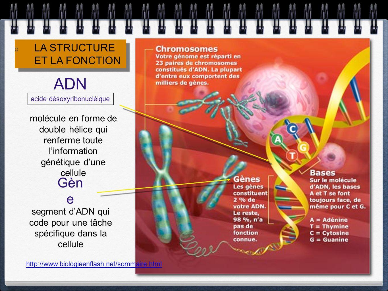 http://www.biologieenflash.net/sommaire.html LA STRUCTURE ET LA FONCTION LA STRUCTURE ET LA FONCTION ADN acide désoxyribonucléique molécule en forme de double hélice qui renferme toute linformation génétique dune cellule Gèn e segment dADN qui code pour une tâche spécifique dans la cellule