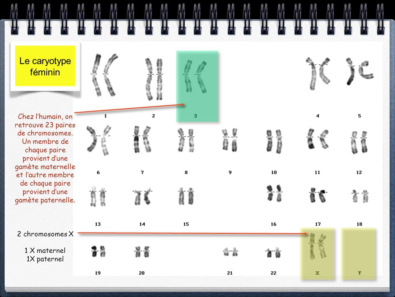 Le caryotype masculin 1 chromosome X 1 chromosome Y 1 Y paternel 1X maternel