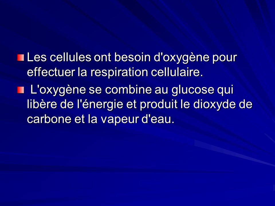 Les cellules ont besoin d'oxygène pour effectuer la respiration cellulaire. L'oxygène se combine au glucose qui libère de l'énergie et produit le diox