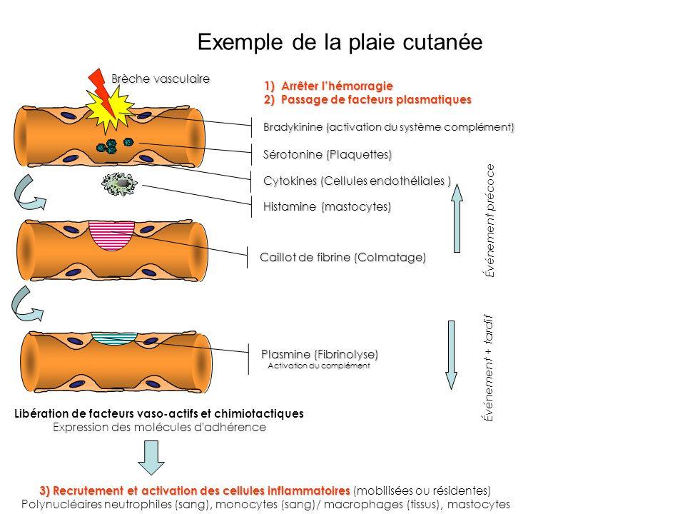 Exemple de la plaie cutanée Caillot de fibrine (Colmatage) Sérotonine (Plaquettes) Brèche vasculaire Cytokines (Cellules endothéliales ) Bradykinine (activation du système complément) 1)Arrêter lhémorragie 2)Passage de facteurs plasmatiques Histamine (mastocytes) Plasmine (Fibrinolyse) Activation du complément Événement précoce Événement + tardif Libération de facteurs vaso-actifs et chimiotactiques Expression des molécules d adhérence 3) Recrutement et activation des cellules inflammatoires 3) Recrutement et activation des cellules inflammatoires (mobilisées ou résidentes) Polynucléaires neutrophiles (sang), monocytes (sang)/ macrophages (tissus), mastocytes