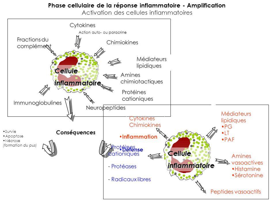 Phase cellulaire de la réponse inflammatoire - Amplification Activation des cellules inflammatoiresCytokines Action auto- ou paracrine Action auto- ou paracrine Chimiokines Médiateurslipidiques Amineschimiotactiques Protéinescationiques Neuropeptides Immunoglobulines Fractions du complément Celluleinflammatoire Survie Apoptose Nécrose (formation du pus)Conséquences Inflammation Défense Celluleinflammatoire Médiateurslipidiques PGPG LTLT PAFPAF Aminesvasoactives HistamineHistamine SérotonineSérotonine - Protéines cationiques - Protéases - Radicaux libres Peptides vasoactifs CytokinesChimiokines