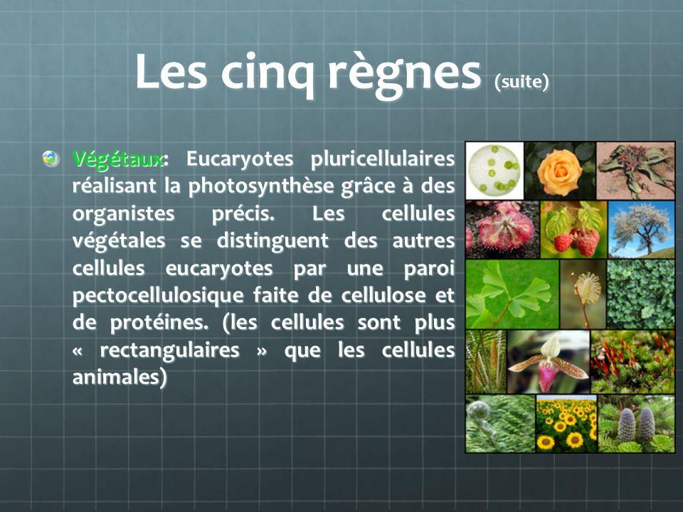 Les cinq règnes (suite) Végétaux: Eucaryotes pluricellulaires réalisant la photosynthèse grâce à des organistes précis. Les cellules végétales se dist
