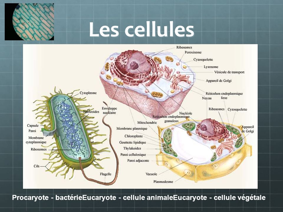 l Procaryote - bactérieEucaryote - cellule animaleEucaryote - cellule végétale