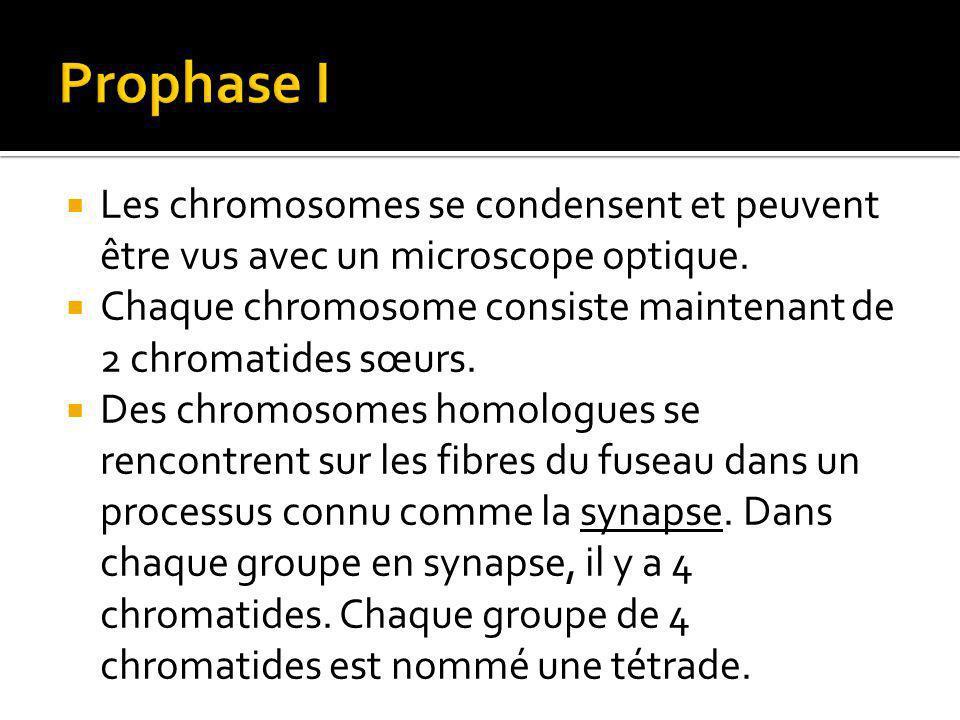 Les chromosomes se condensent et peuvent être vus avec un microscope optique.
