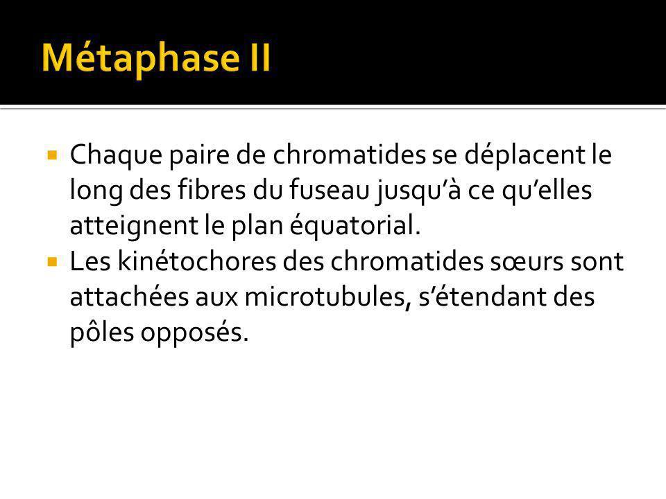 Chaque paire de chromatides se déplacent le long des fibres du fuseau jusquà ce quelles atteignent le plan équatorial.