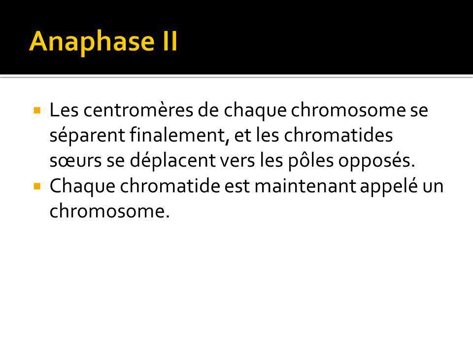 Les centromères de chaque chromosome se séparent finalement, et les chromatides sœurs se déplacent vers les pôles opposés.