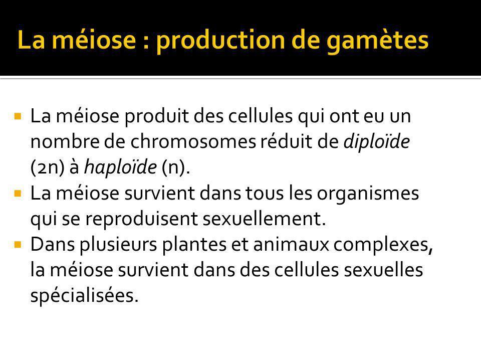 La méiose produit des cellules qui ont eu un nombre de chromosomes réduit de diploïde (2n) à haploïde (n).