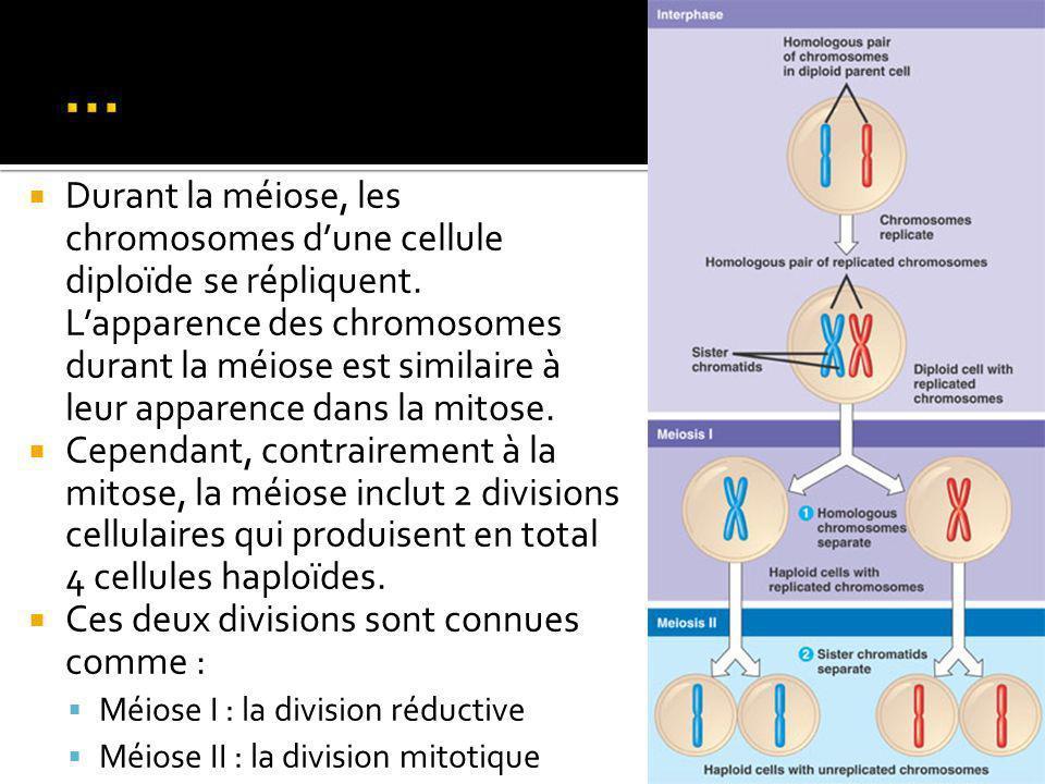 Durant la méiose, les chromosomes dune cellule diploïde se répliquent.