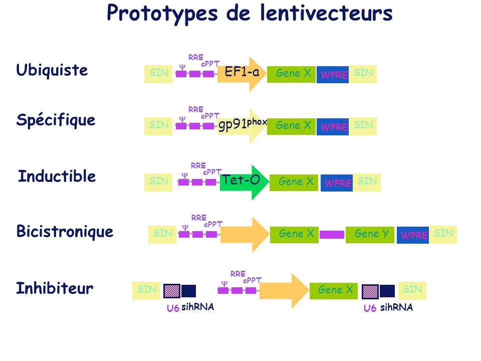 Prototypes de lentivecteurs Inductible Ubiquiste Gene X EF1-a cPPT RRE Gene X gp91 phox cPPT RRE Gene X Tet-O cPPT RRE Gene X cPPT RRE Gene Y Bicistronique Gene X cPPT RRE U6 sihRNA U6 sihRNA Inhibiteur Spécifique WPRE SIN WPRE SIN WPRE SIN WPRE SIN