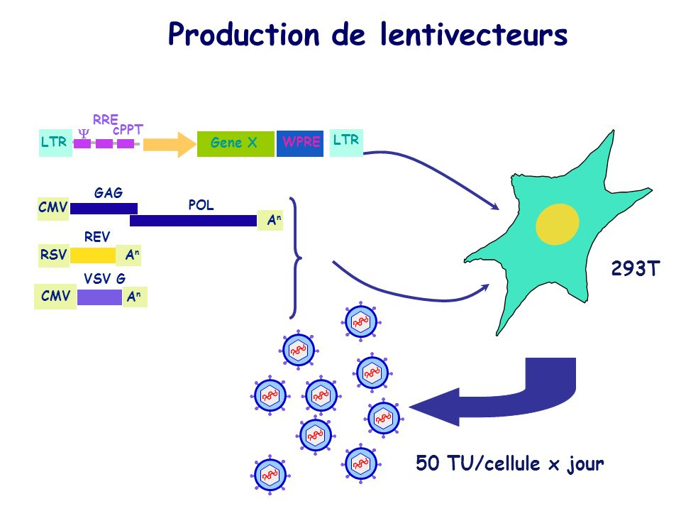 Production de lentivecteurs CMV RSV AnAn GAG POL AnAn REV CMV AnAn VSV G 50 TU/cellule x jour 293T WPRE Gene X LTR cPPT RRE LTR