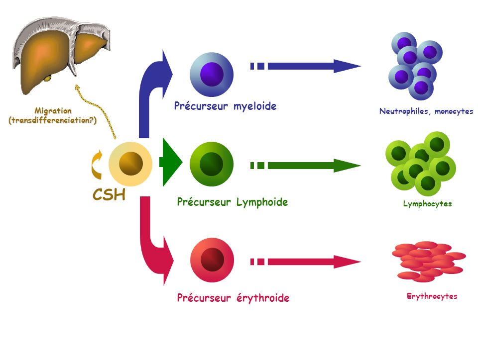 CSH Précurseur myeloide Précurseur érythroide Précurseur Lymphoide Neutrophiles, monocytes Lymphocytes Erythrocytes Migration(transdifferenciation?)