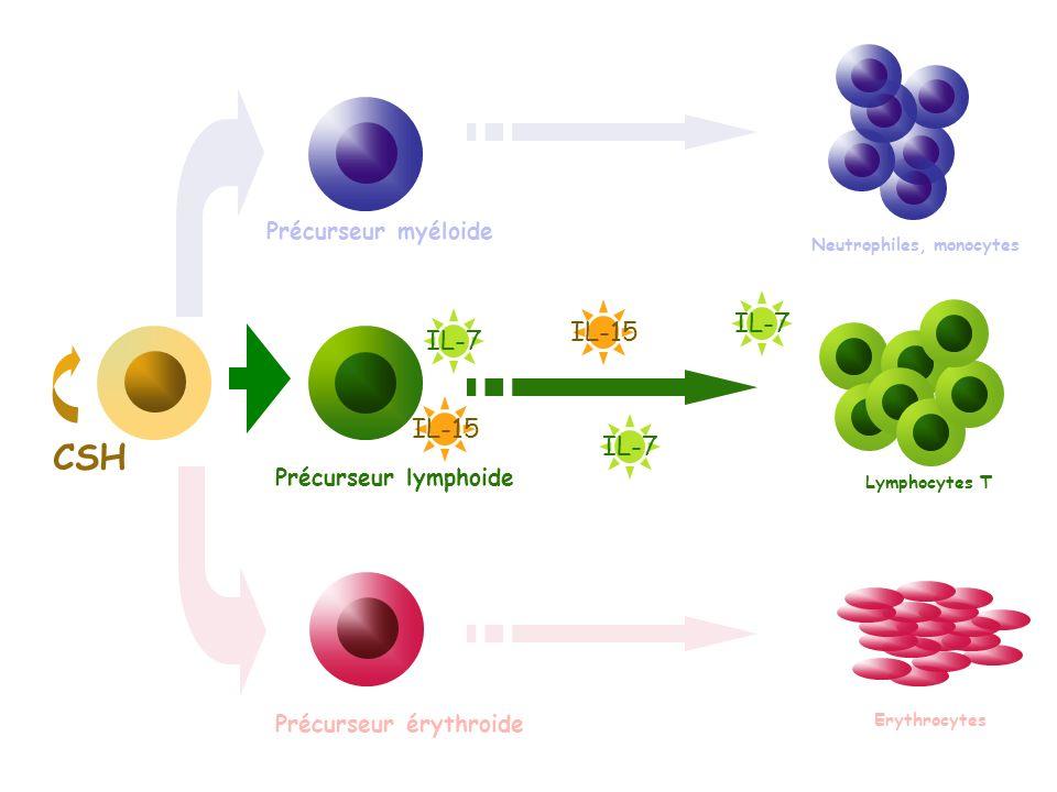 CSH Précurseur myéloide Précurseur érythroide Précurseur lymphoide Neutrophiles, monocytes Lymphocytes T Erythrocytes IL-7 IL-15 IL-7 IL-15