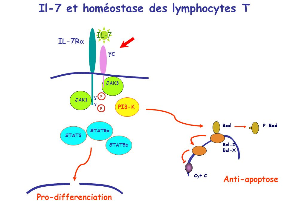Il-7 et homéostase des lymphocytes T IL-7R c Y Y P P JAK1 JAK3 Cyt C Bcl-2 Bcl-X Bad PI3-K Anti-apoptose STAT3 STAT5a STAT5b Pro-differenciation P-Bad