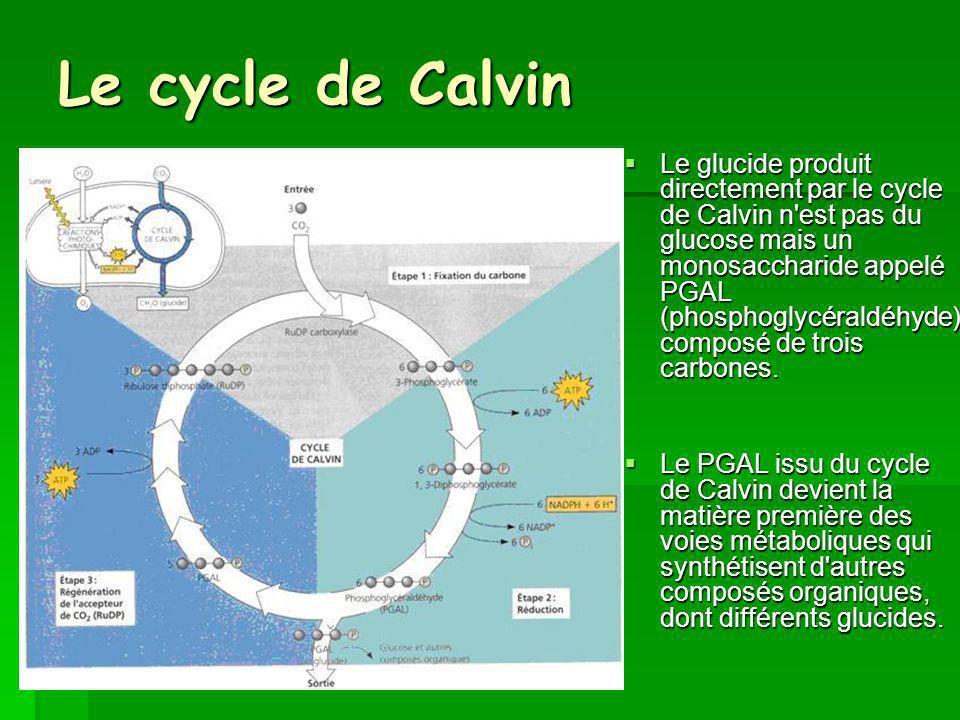 Le cycle de Calvin Le glucide produit directement par le cycle de Calvin n est pas du glucose mais un monosaccharide appelé PGAL (phosphoglycéraldéhyde) composé de trois carbones.