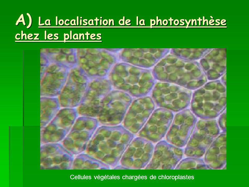 A) La localisation de la photosynthèse chez les plantes Cellules végétales chargées de chloroplastes