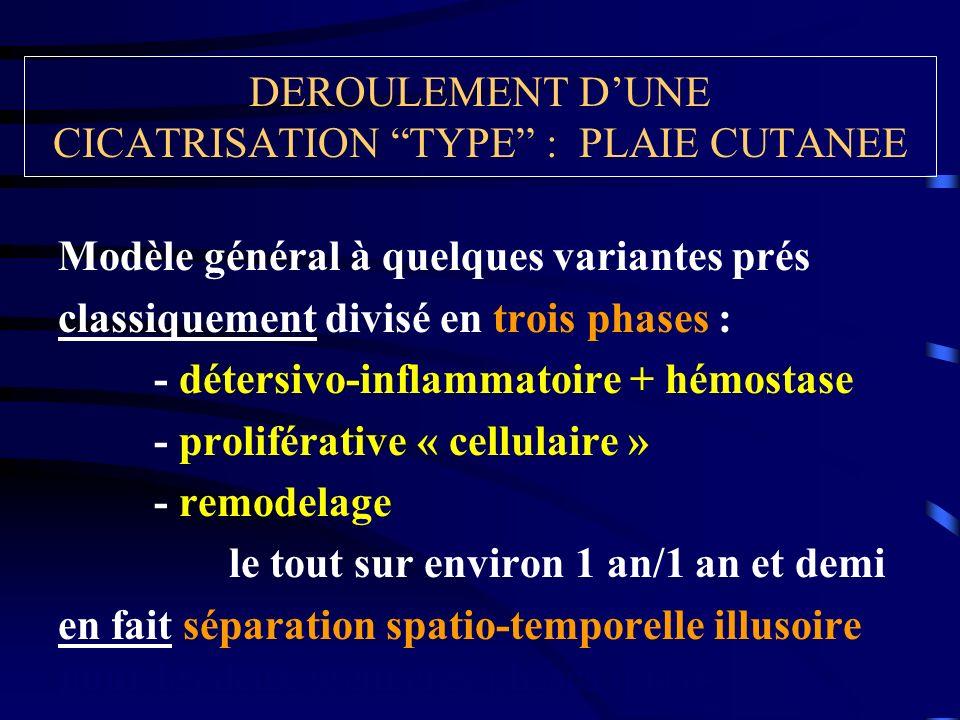 DEROULEMENT DUNE CICATRISATION TYPE : PLAIE CUTANEE Modèle général à quelques variantes prés classiquement divisé en trois phases : - détersivo-inflam