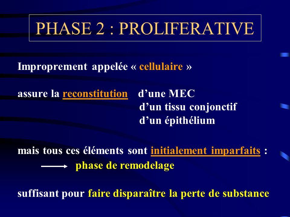 PHASE 2 : PROLIFERATIVE Improprement appelée « cellulaire » assure la reconstitution dune MEC dun tissu conjonctif dun épithélium mais tous ces élémen