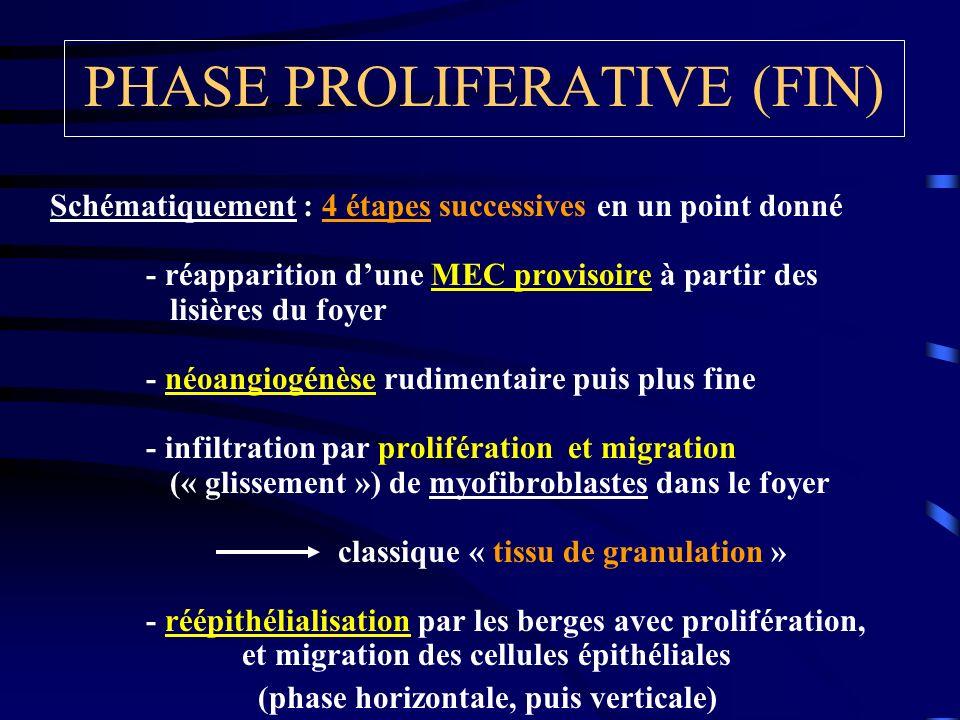 PHASE PROLIFERATIVE (FIN) Schématiquement : 4 étapes successives en un point donné - réapparition dune MEC provisoire à partir des lisières du foyer -