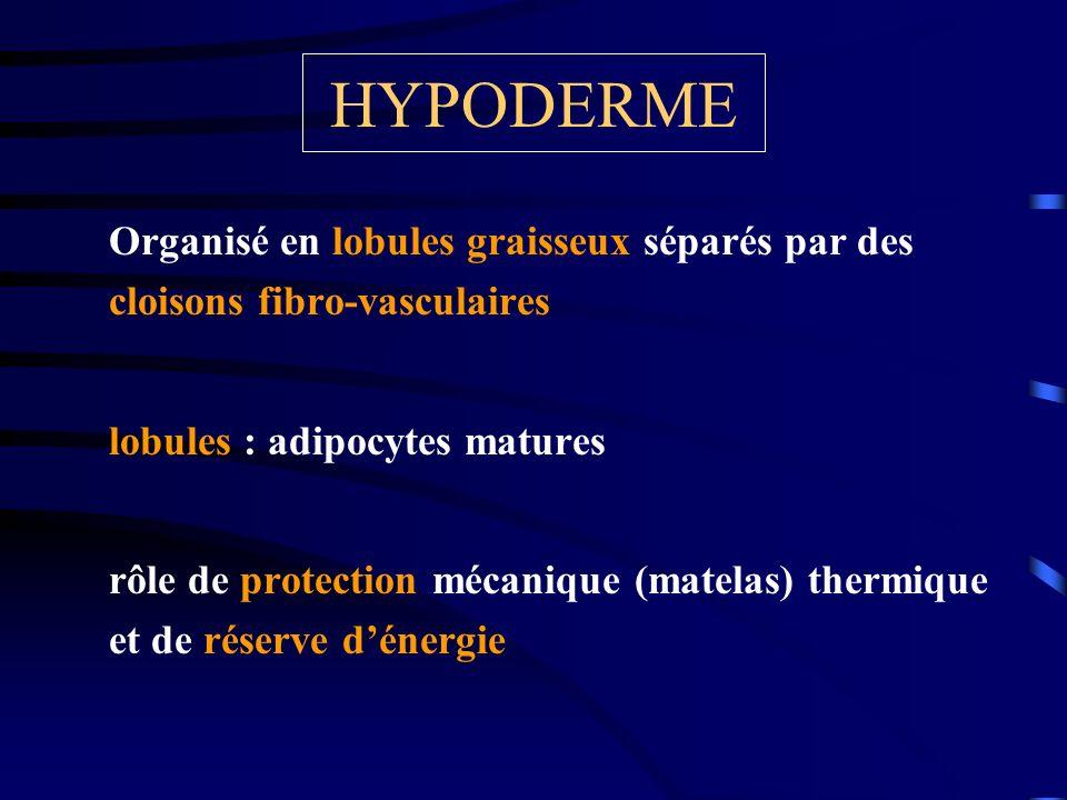 HYPODERME Organisé en lobules graisseux séparés par des cloisons fibro-vasculaires lobules : adipocytes matures rôle de protection mécanique (matelas)