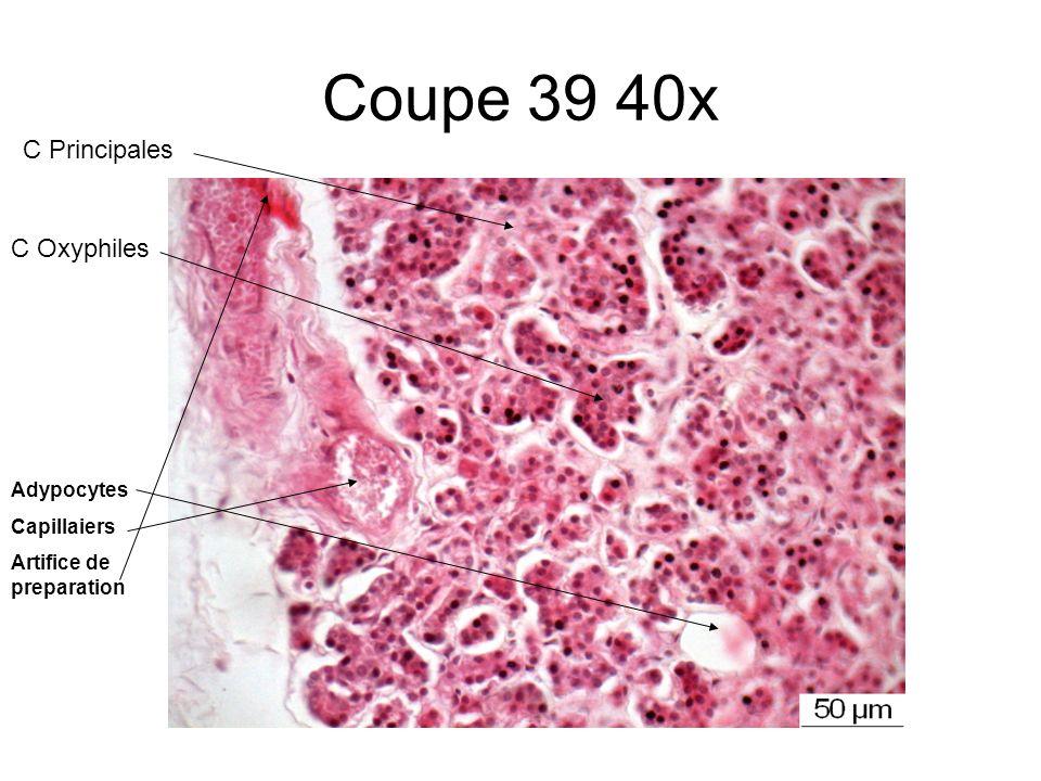 Coupe 39 40x Adypocytes Capillaiers Artifice de preparation C Oxyphiles C Principales