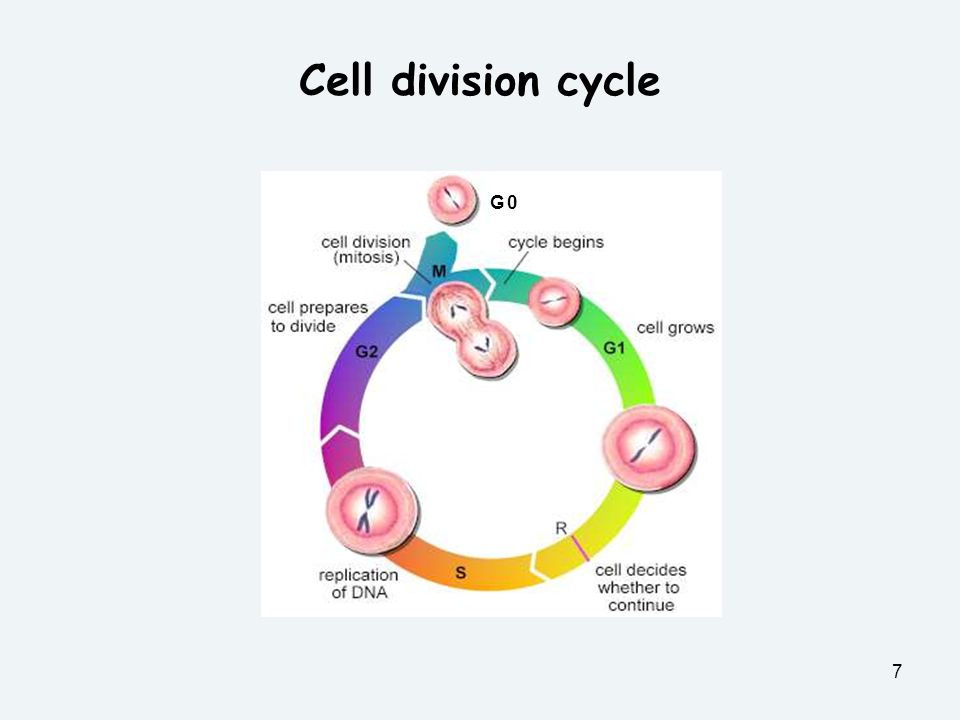7 G 0G 0 Cell division cycle