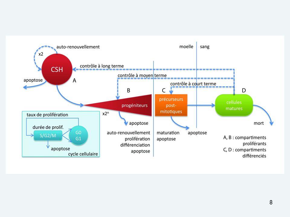 29 Leukopoiesis model: Regulation by mature cells M.